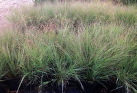 Eragrostis elliotti Elliotts Love Grass