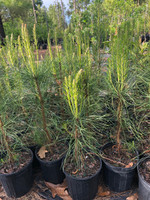 Pinus taeda Loblolly Pine 1 gallon