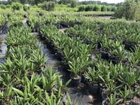 Rhapidophyllum hystrix Needle Palm 3 gallon