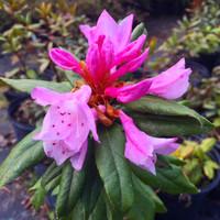 Rhododendron minus (Piedmont Rhododendron) 1 gallon