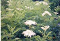 Sambucus canadensis American Elderberry