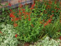 Salvia coccinea (Scarlet Sage) 1gallon