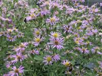 Aster elliottii in bloom Nov 4th in north Florida