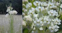 Asclepias verticillata Whorled Milkweed 1 gallon