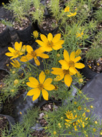 Coreopsis delphiniifolia Tickseed 1 gallon