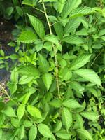 Rubus argutus Southern Blackberry 1 gallon