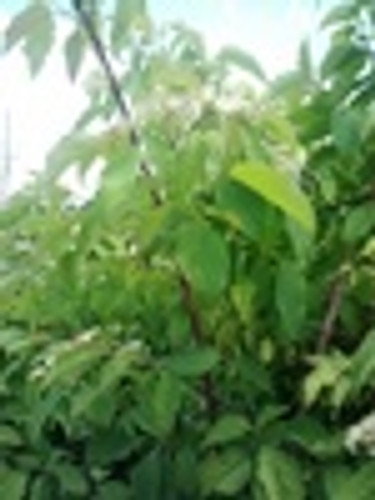 Cornus amomum Silky Dogwood