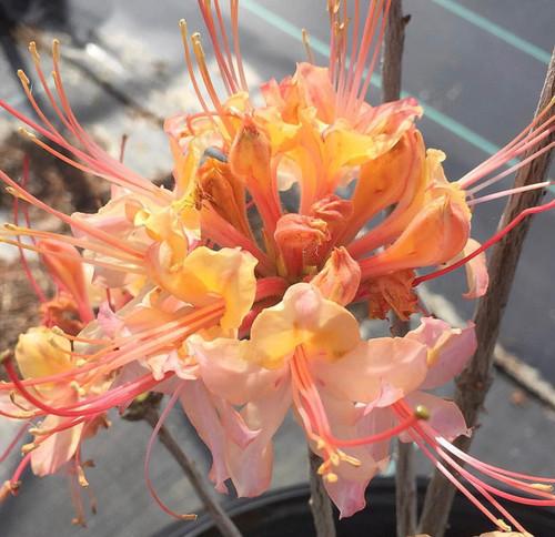 Rhododendron flammeum Elberta