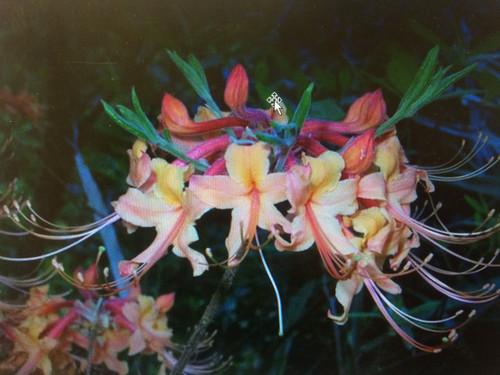 Rhododendron austrinum Reagan Ready Sept