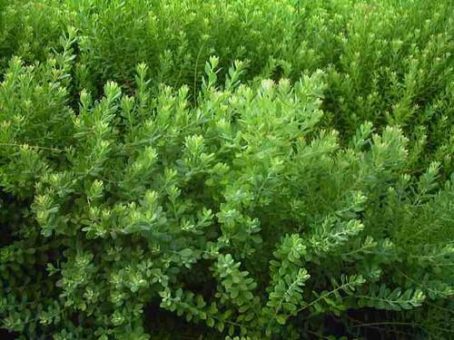 Vaccinium darrowii Glaucous Blueberry