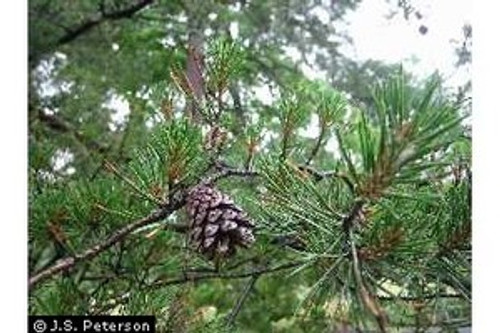 Pinus virginiana Virginia Pine