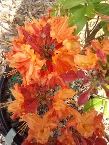 Rhododendron x Nathan Bedford Forrest 1 gallon