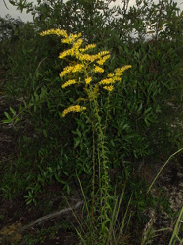 Solidago odora Sweet Goldenrod 1gallon