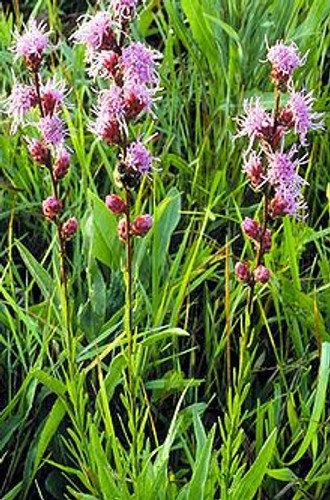 Liatris aspera Button Blazing Star 1gallon
