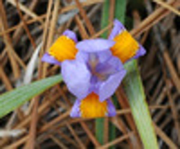 Iris verna Violet Iris pints