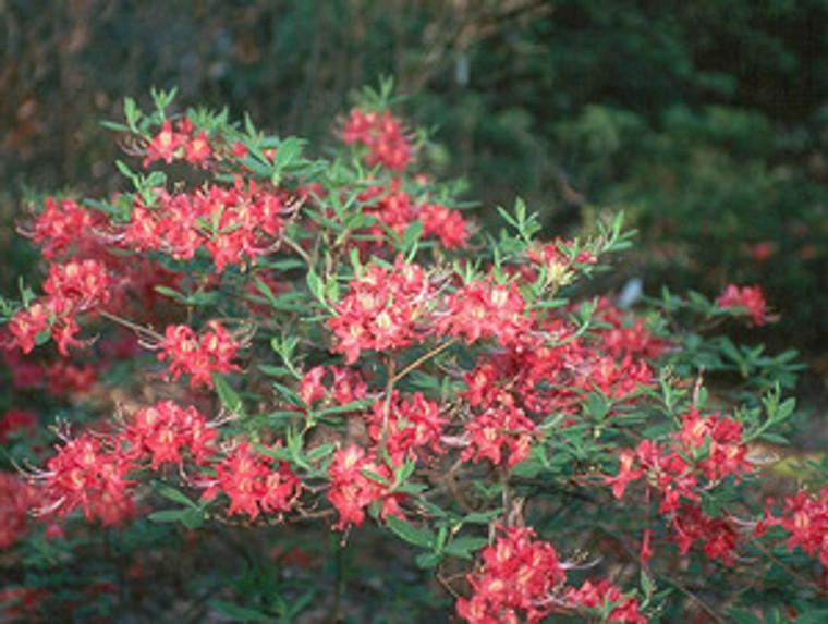 Rhododendron Razzberry 1gallon