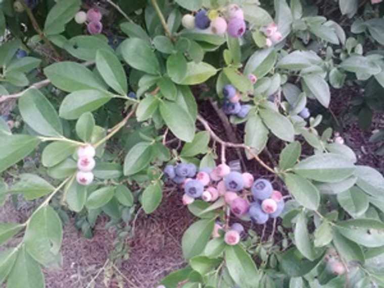 Vaccinium ashei GOOD TASTE Blueberry