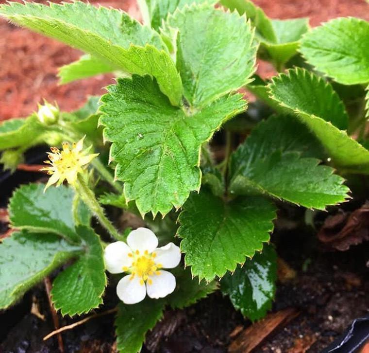 Fragaria virginiana Native Strawberry