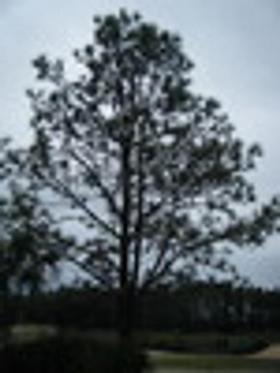 Pinus palustris Longleaf Pine 1gallon