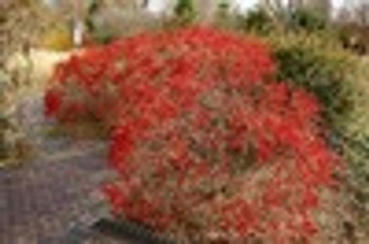 Ilex verticillata 'Red Sprite' Winterberry