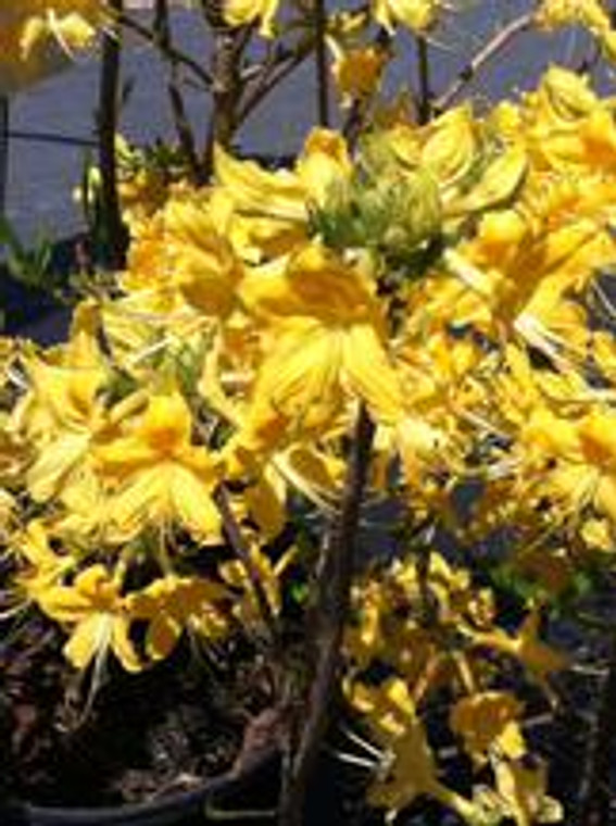 Rhododendron Admiral Semmes 1gallon