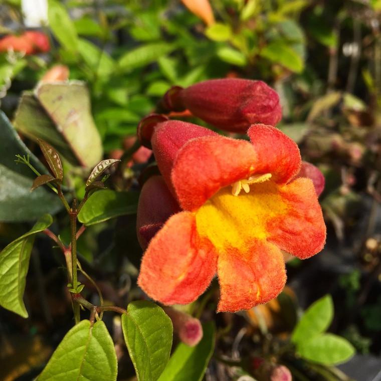 Bignonia capreolata 'Tangerine Beauty' Crossvine