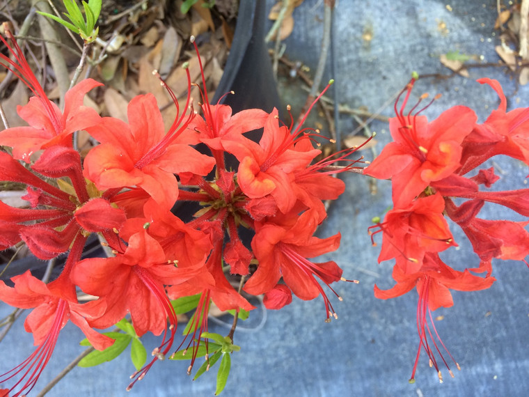 Rhododendron flammeum  (Red)