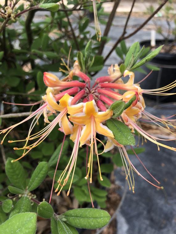 Rhododendron austrinum Millie Mac