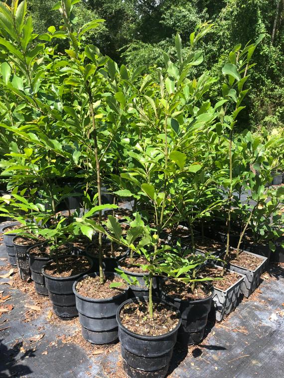 Castanea pumila Chinquapin 1 gallon