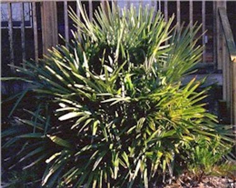 Rhapidophyllum hystrix Needle Palm 1gallon