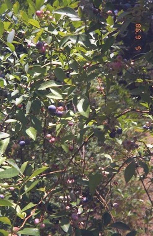Vaccinium ashei Hodnett  Highbush Blueberry