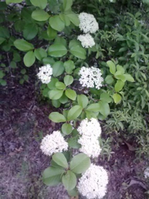 Viburnum rufidulum Rusty Blackhaw 3 gallon
