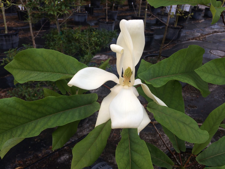 Magnolia pyramidata Pyramid Magnolia 1 gallon