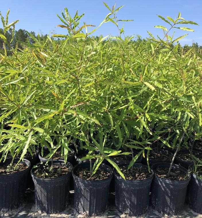 Quercus phellos Willow Oak