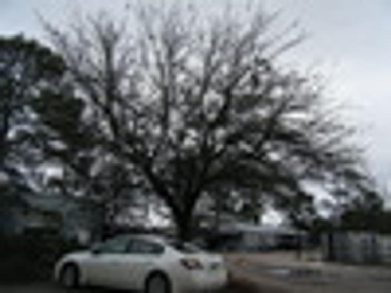 Quercus geminata Sand Live Oak
