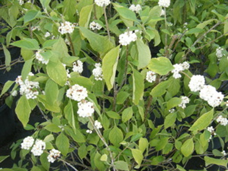 Callicarpa americana Beautyberry WHITE 1gallon