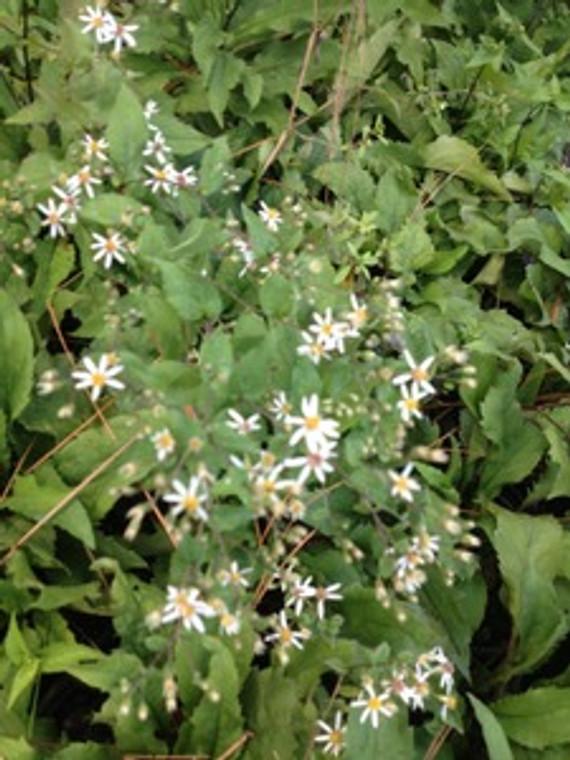 Aster divaricatus White Wood Aster