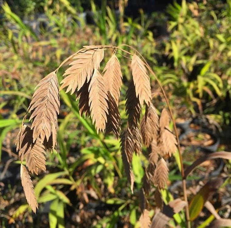 Chasmanthium latifolium River Oats