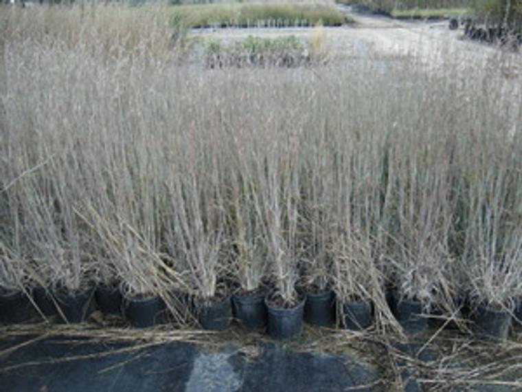 Andropogon virginicus 'Silver Beauty' Bluestem Grass 1gallon