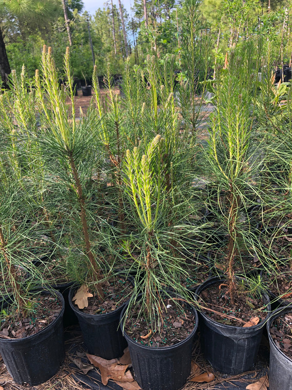 Pinus taeda Loblolly Pine 1 gallon