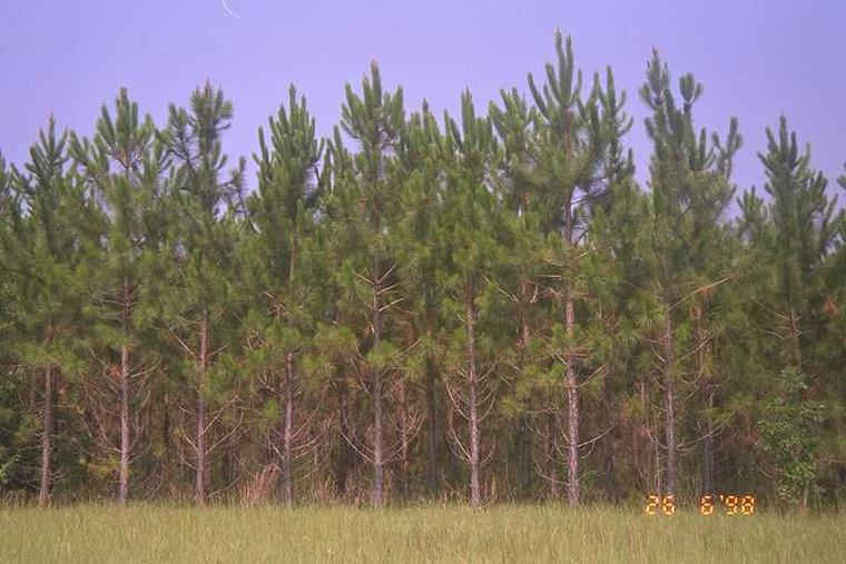 Pinus elliottii Slash Pine 1gallon
