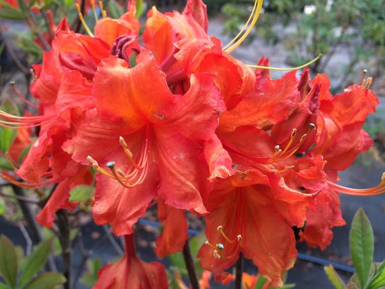 Rhododendron x Robert E. Lee  1 gallon