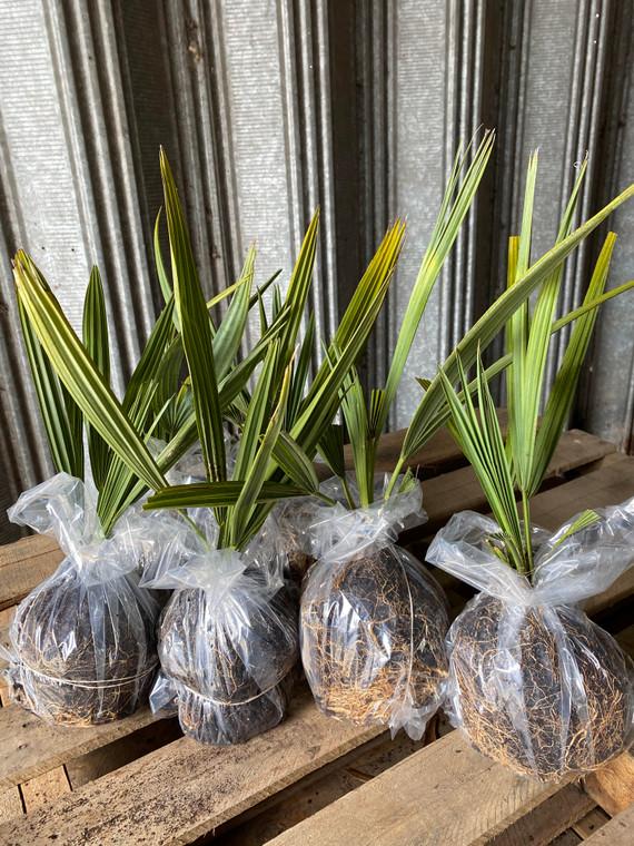 Sabal minor Blue stem palm 1gallon