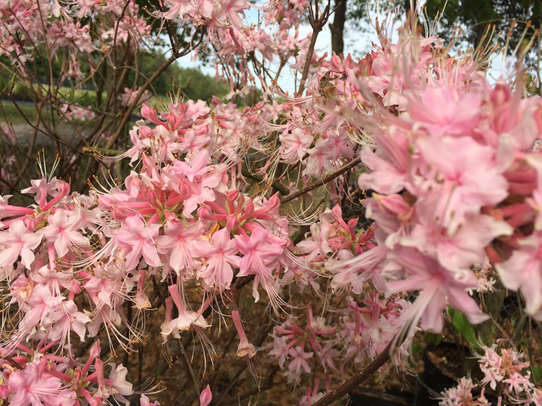 Rhododendron canescens 'Camilla's Blush'