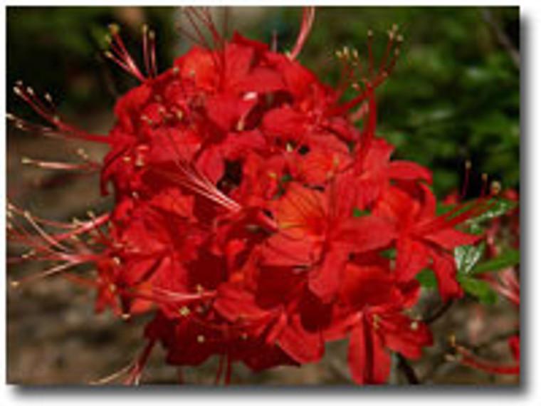 Rhododendron flammeum JACK MELTON 1 gallon