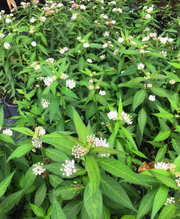 Asclepias perennis (White Swamp Milkweed/White Aquatic Milkweed) 1gallon