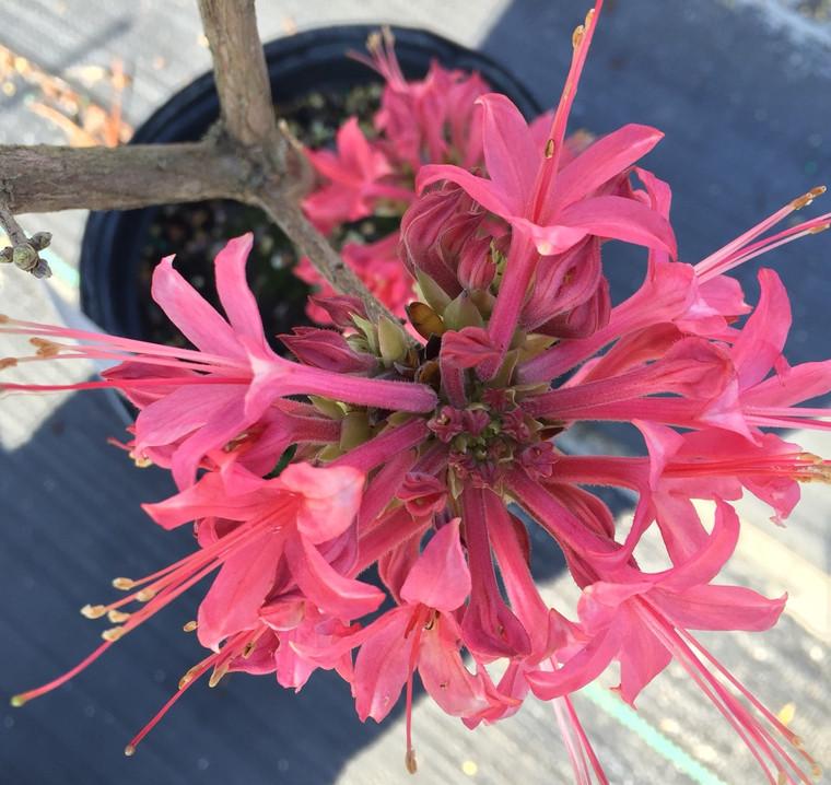 Rhododendron canescens  'Watermelon' 1 gallon