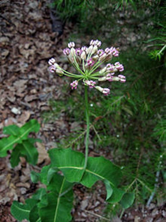 Asclepias amplexicaulis (Clasping Milkweed) 1 gallon