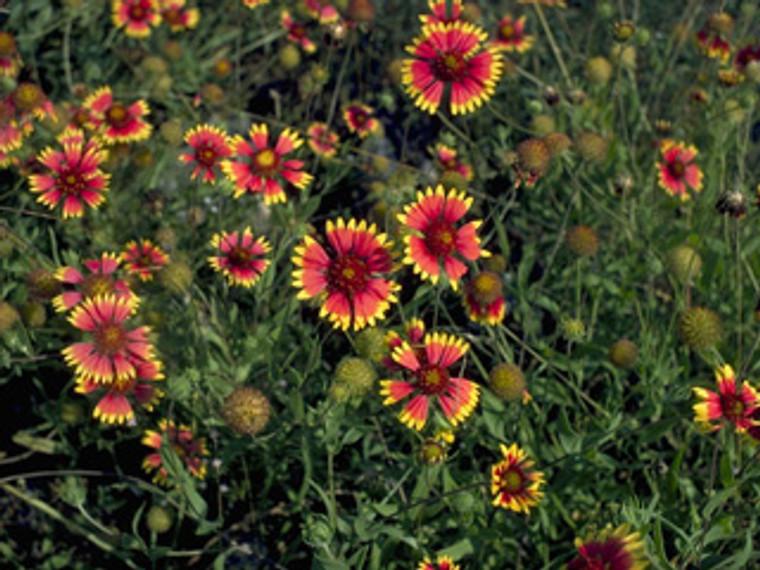 Gaillardia pulchella Blanket Flower 1gallon