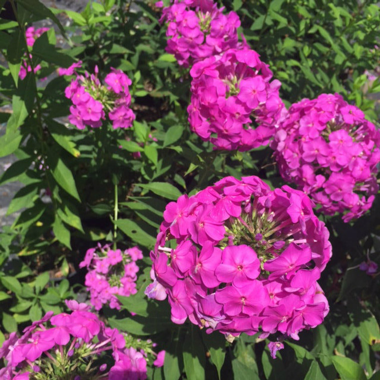 Phlox paniculata Garden Phlox 1gallon